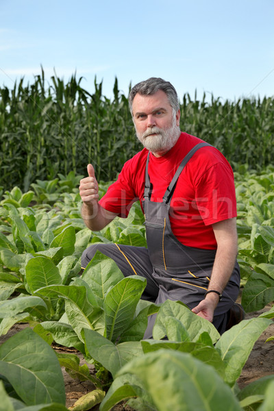 Farmer or agronomist inspect tobacco field Stock photo © simazoran