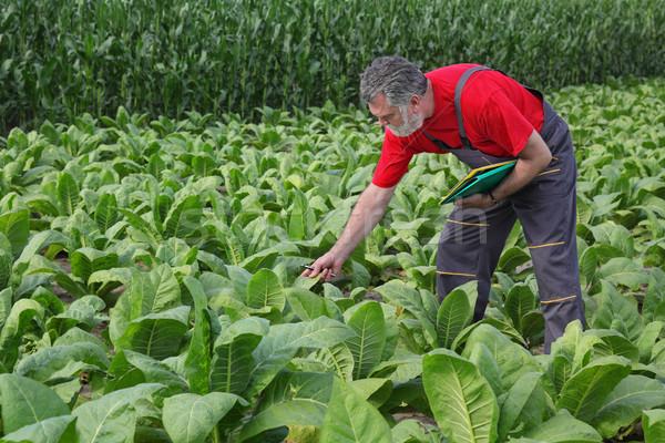 Landbouwer tabak veld onderzoeken plant vroeg Stockfoto © simazoran