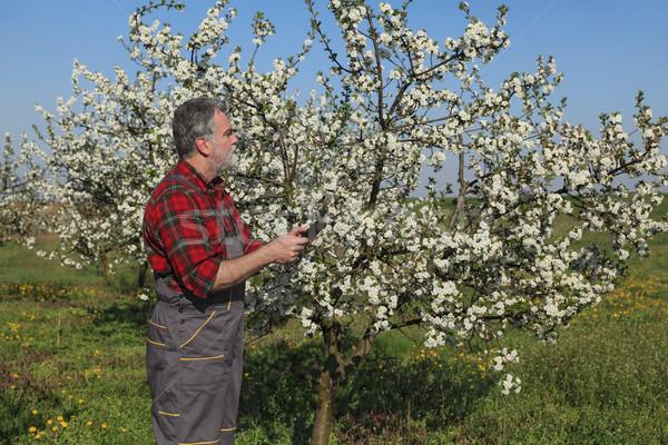 Landbouwer onderzoeken kers boomgaard Stockfoto © simazoran