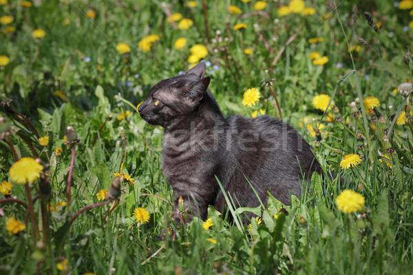 Nacional raza gato hierba jóvenes Foto stock © simazoran