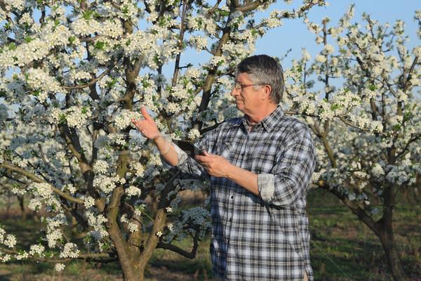 Farmer or agronomist in blooming plum orchard Stock photo © simazoran