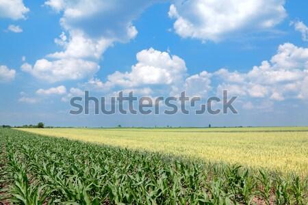 культура зеленый кукурузы Blue Sky белый Сток-фото © simazoran