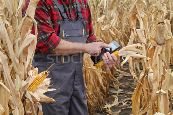 Farmer examining corn crop in field Stock photo © simazoran