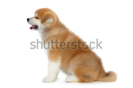 Akita pet dog Stock photo © simazoran