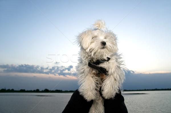 Maltese dog Stock photo © simazoran