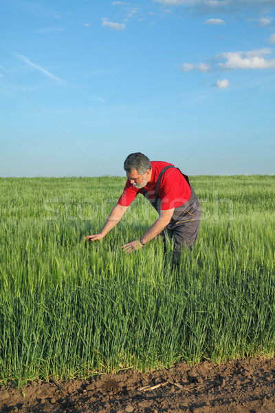 Agriculture, farmer examine wheat field Stock photo © simazoran