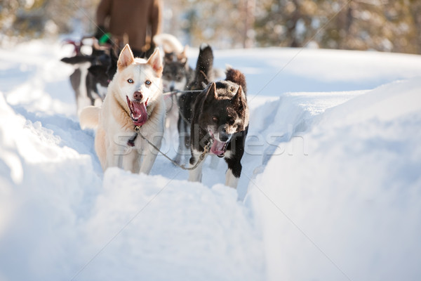 Sled Dog Stock photo © SimpleFoto