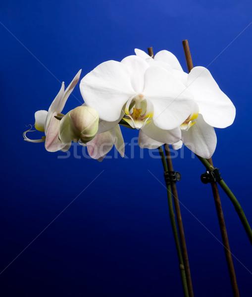 Orchid Stock photo © SimpleFoto