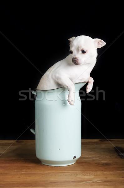 Worried Chihuahua Stock photo © SimpleFoto