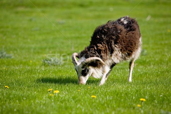 Grazing Sheep Stock photo © SimpleFoto