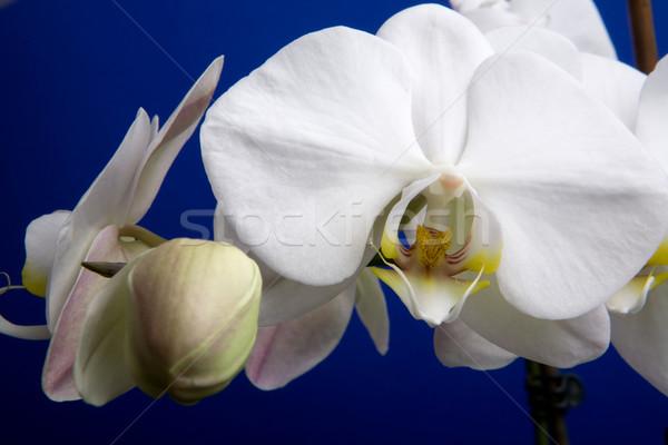 White Orchid Stock photo © SimpleFoto