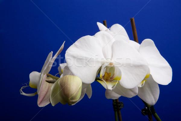 Moon Orchid Stock photo © SimpleFoto