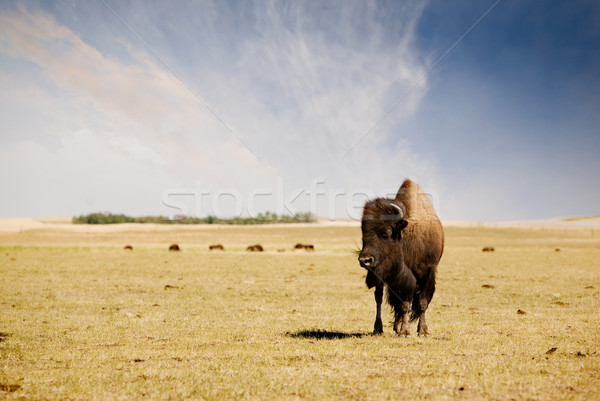 Buffalo Stock photo © SimpleFoto