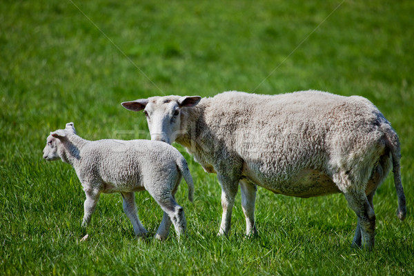 Сток-фото: матери · овец · ягненка · зеленый · пастбище · природы