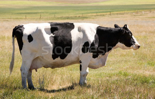 Koe permanente gras naar camera sluw Stockfoto © SimpleFoto