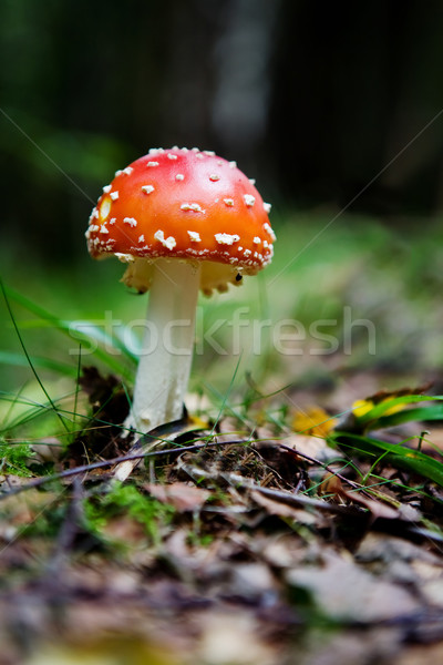 Fly Amanita Stock photo © SimpleFoto