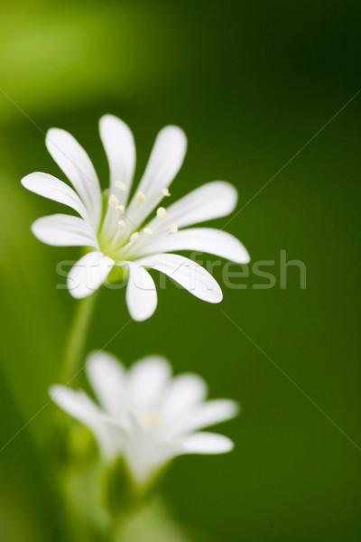 White Flower Stock photo © SimpleFoto