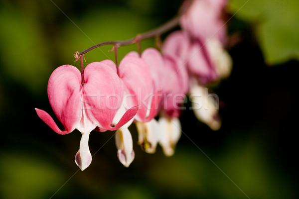 Kanama kalp çiçek makro bahar sevmek Stok fotoğraf © SimpleFoto