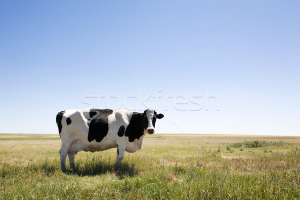 Copy Space Cow Stock photo © SimpleFoto