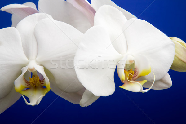 Orchid Detail Stock photo © SimpleFoto