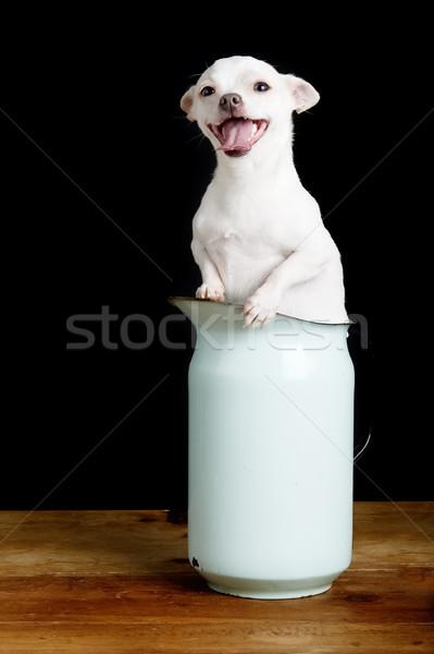 Eager Chihuahua Stock photo © SimpleFoto