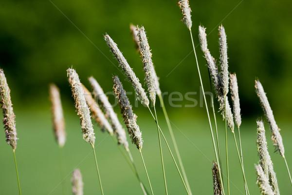 Hierba macro detalle imagen naturaleza Foto stock © SimpleFoto
