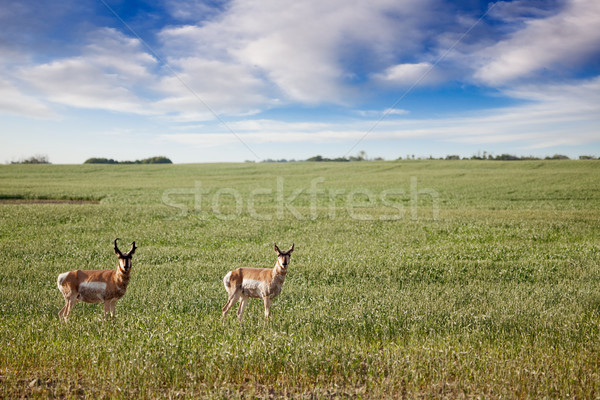 Antelope Stock photo © SimpleFoto