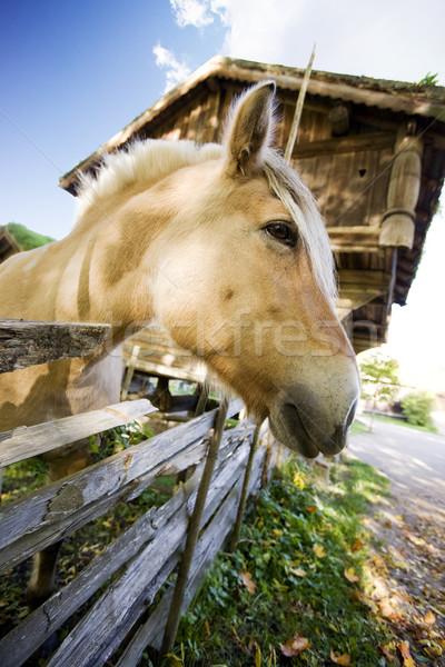 Noors paard afbeelding Noorwegen glimlach Stockfoto © SimpleFoto