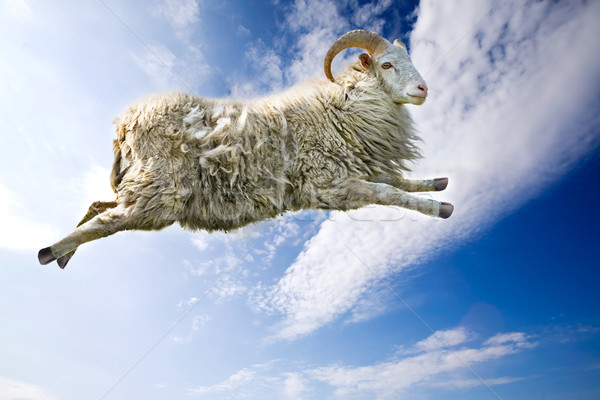 Flying Sheep Stock photo © SimpleFoto