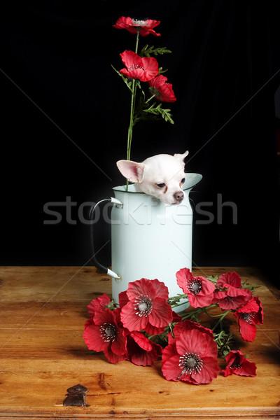 Chihuahua Love Stock photo © SimpleFoto
