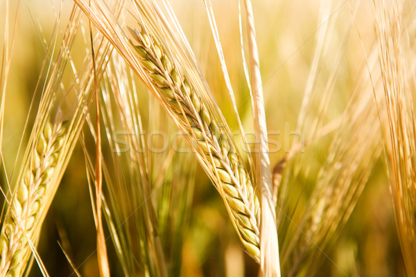 Wheat Head Detail Stock photo © SimpleFoto