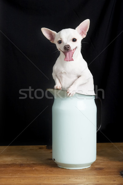 Chihuahua Smile Stock photo © SimpleFoto