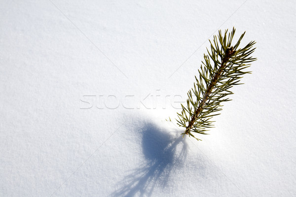 Sopravvivenza abete rosso albero piccolo neve inverno Foto d'archivio © SimpleFoto