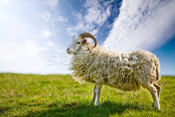 Proud Sheep Stock photo © SimpleFoto