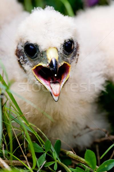 Prairie Falcon Chick Stock photo © SimpleFoto