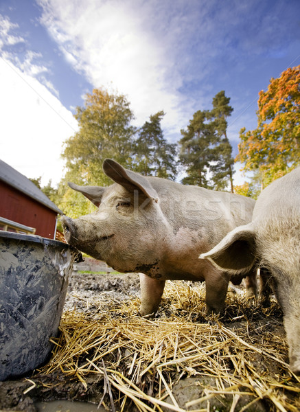 Pig at Water Bowl Stock photo © SimpleFoto