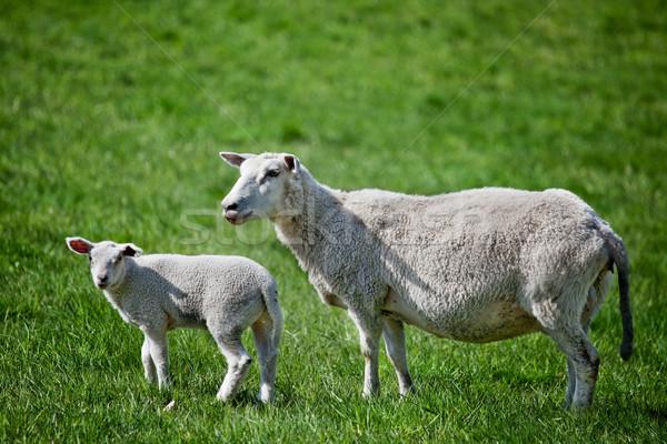 Anne koyun kuzu yeşil doğa Stok fotoğraf © SimpleFoto