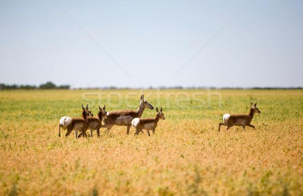 Pronghorn Antelope Family Stock photo © SimpleFoto