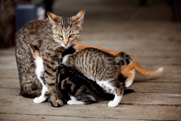 Chaton chat beaucoup chatons alimentaire Photo stock © SimpleFoto