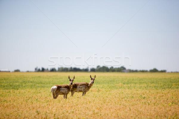 Kettő préri mező áll éber tájkép Stock fotó © SimpleFoto