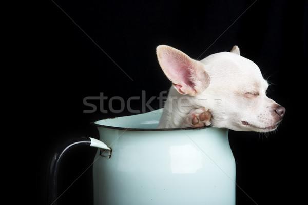 Resting Chihuahua Stock photo © SimpleFoto