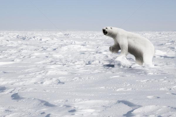 Polar Bear Stock photo © SimpleFoto