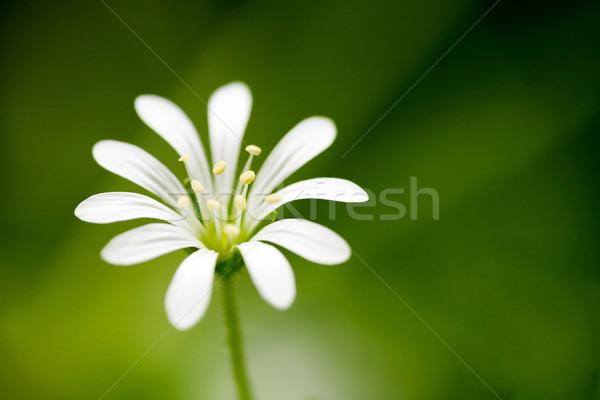 Flor blanca macro pequeño flor madera naturaleza Foto stock © SimpleFoto