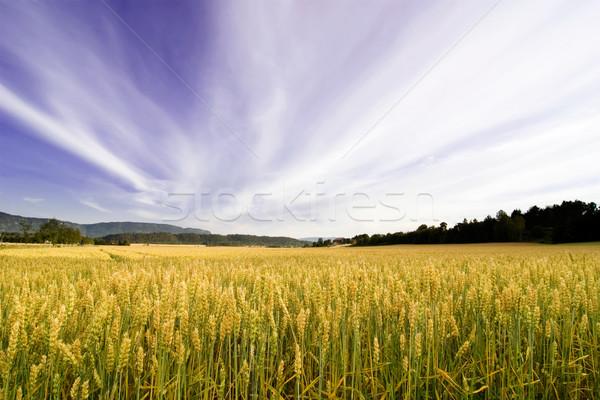 Foto stock: Campo · de · trigo · dramático · paisaje · cielo · montana · trigo