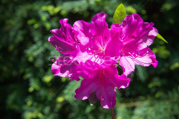 Rhododendron close-up, selective focus Stock photo © simpson33