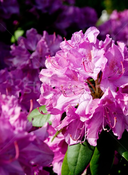Pink Rhododendron close-up, selective focus  Stock photo © simpson33