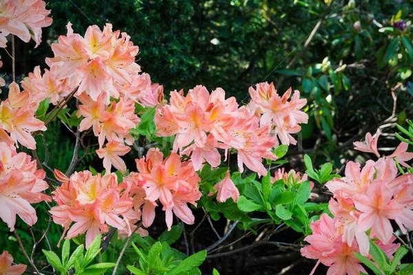 Orange lily garden in full bloom  Stock photo © simpson33