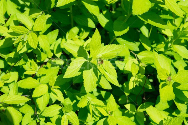 Stok fotoğraf: Yeşil · ot · bahçe · flora · bahar · soyut