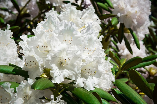 White rhododendron close-up Stock photo © simpson33