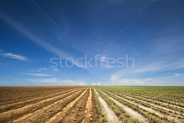 Agricultura dos plantas campo pino manzana Foto stock © sippakorn